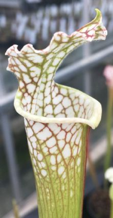 Sarracenia leucophylla white/red veins Citronelle, Alabama SL006